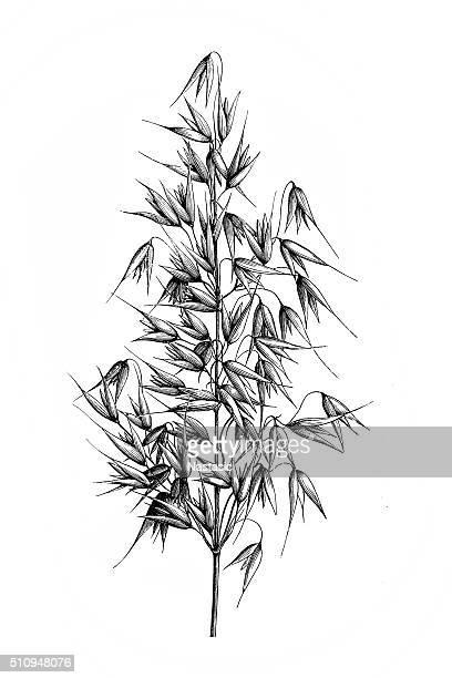 ilustraciones, imágenes clip art, dibujos animados e iconos de stock de avena (avena sativa) - grano planta