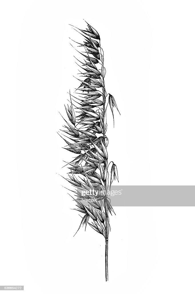 Oat (Avena sativa) : stock illustration