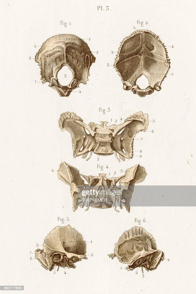 Occipital Bone Anatomy Engraving 1886 Stock Illustration | Getty Images