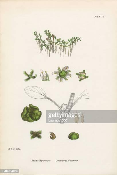 octandrous waterwort, elatine hydropiper, victorian botanical illustration, 1863 - plant stage stock illustrations, clip art, cartoons, & icons