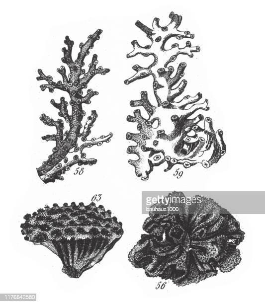 ilustraciones, imágenes clip art, dibujos animados e iconos de stock de oculina virginea, representantes de la phyla porifera, coelenterata y mollusca engraving antique illustration, publicado en 1851 - estrella de mar