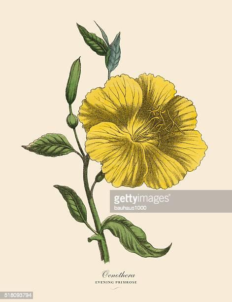 Oenothera or Evening Primrose Plant, Victorian Botanical Illustration