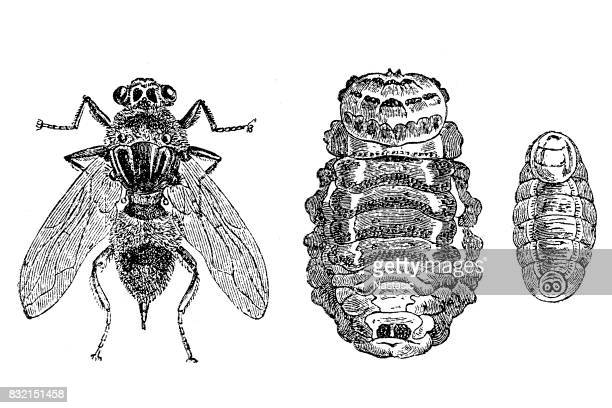 oestrus ovis ,sheep botfly - bot fly stock illustrations