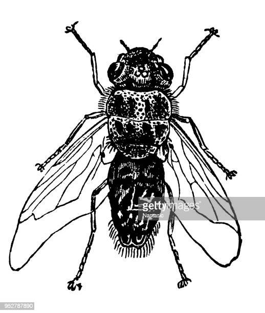 oestrus ovis, the sheep bot fly - fly insect stock illustrations, clip art, cartoons, & icons
