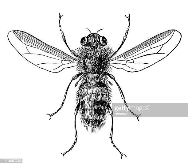 oestrus ovis, the sheep bot fly, is a widespread species of fly of the genus oestrus - bot fly stock illustrations