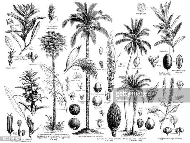 oil and grease producing plant - coconut leaf stock illustrations, clip art, cartoons, & icons