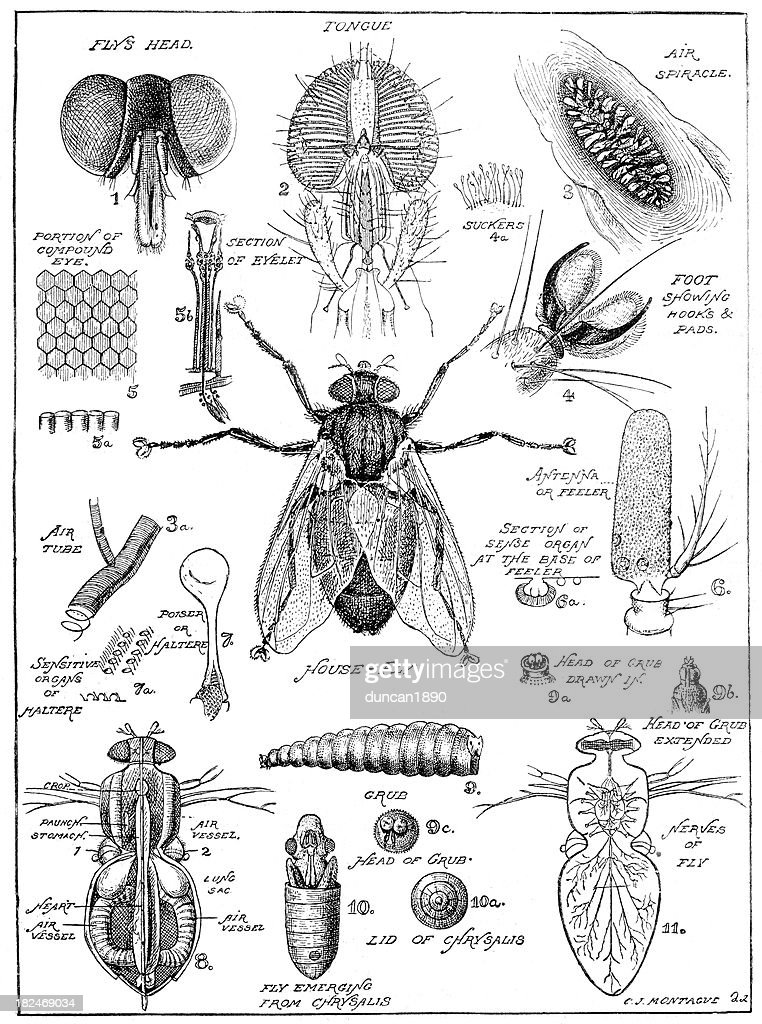 Old fashion drawing of a fly anatomy : stock illustration