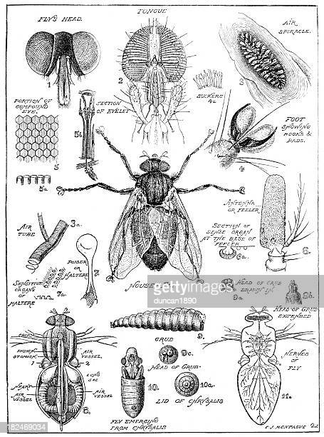 Old fashion drawing of a fly anatomy