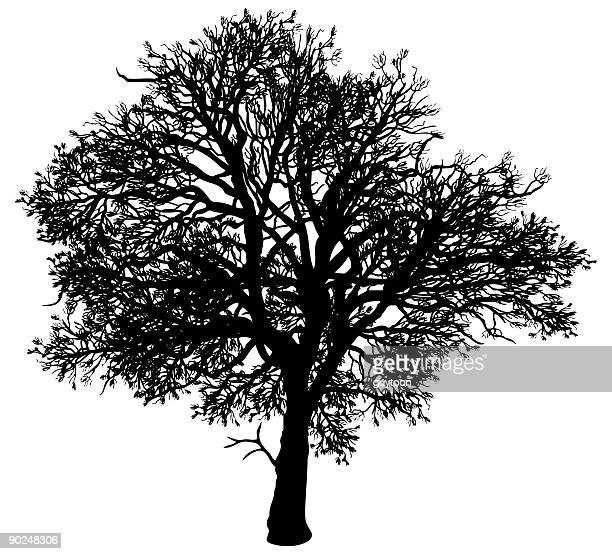 Vieux oak