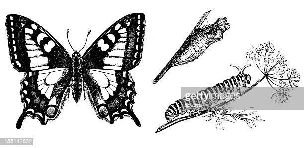 old world swallowtail (papilio machaon) - caterpillar stock illustrations