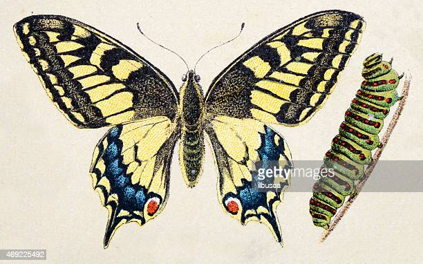 Old World swallowtail (Papilio machaon), insect animals antique illustration