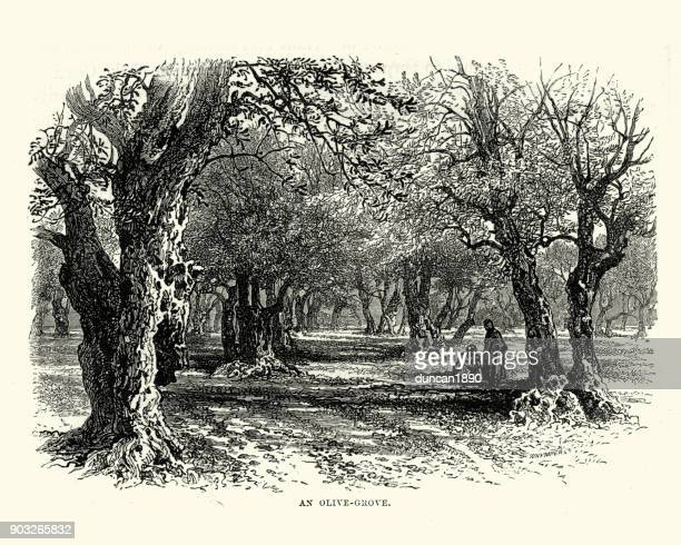 olive grove in the holy land, 19th century - historical palestine stock illustrations