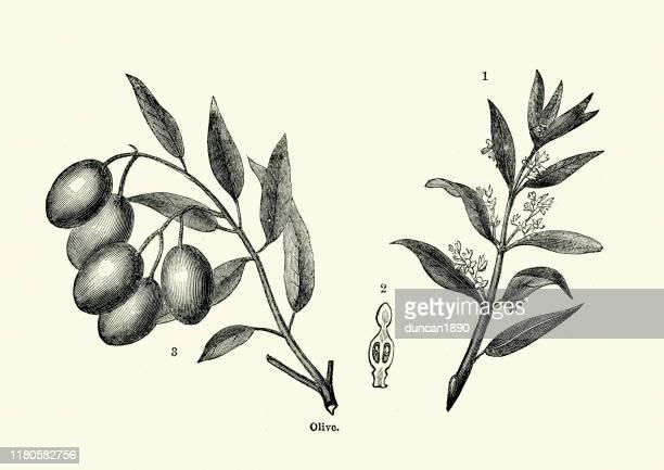 illustrations, cliparts, dessins animés et icônes de olivier, branche, fleur et fruit - olivier