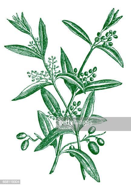 illustrations, cliparts, dessins animés et icônes de branche d'olivier avec des fruits - olivier