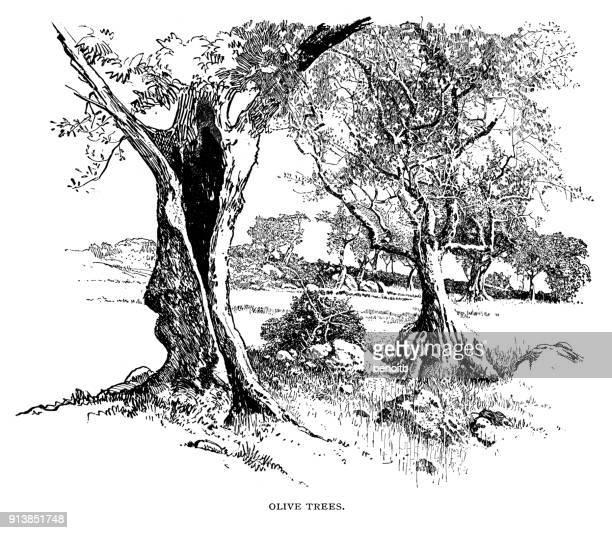 illustrations, cliparts, dessins animés et icônes de des oliviers - olivier