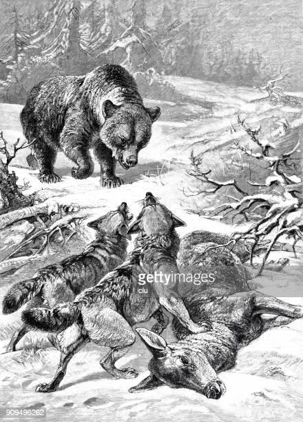 ilustraciones, imágenes clip art, dibujos animados e iconos de stock de un oso y dos lobos quieren presa de los muertos: un ciervo. - fauna silvestre