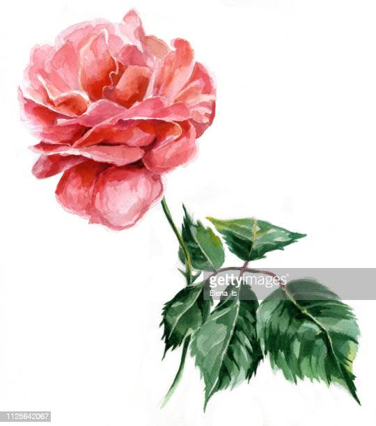 one rose watercolor. traditional painting on paper - rose colored stock illustrations