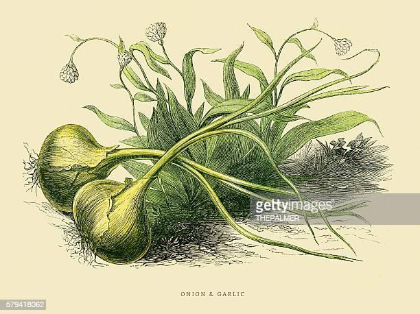 Onion and Garlic illustration 1851