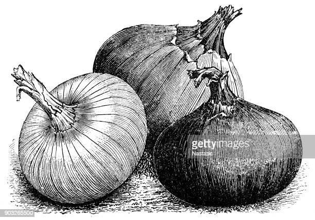 ilustraciones, imágenes clip art, dibujos animados e iconos de stock de cebolla - monoimpresión