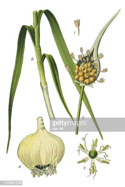 onion, shallot, leek, chive - leek stock illustrations, clip art, cartoons, & icons