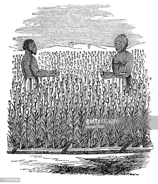 opium field harvest - opium stock illustrations