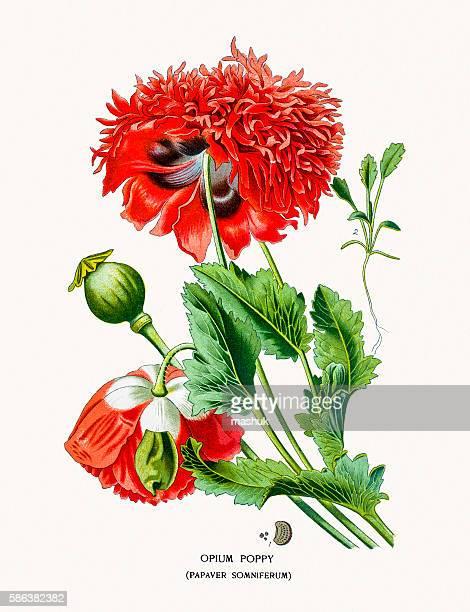opium poppy - opium poppy stock illustrations