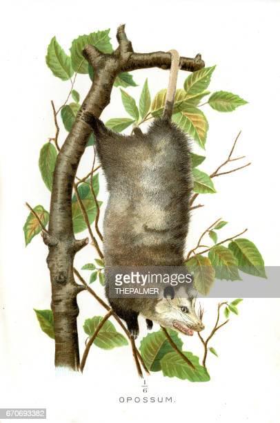 stockillustraties, clipart, cartoons en iconen met opossum lithografie 1897 - zoogdier