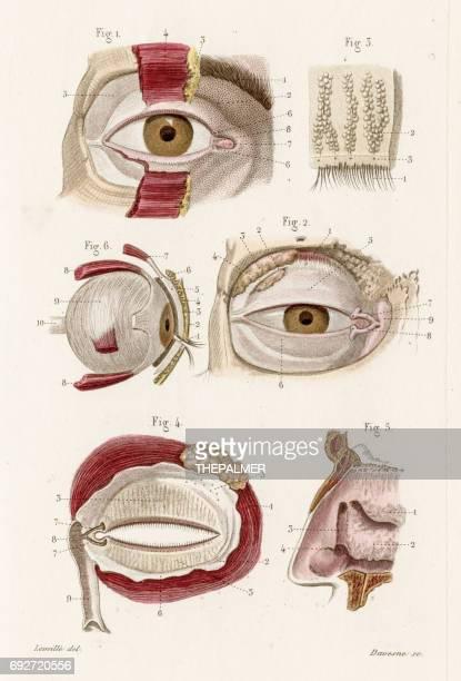 Optic nerves anatomy engraving 1886