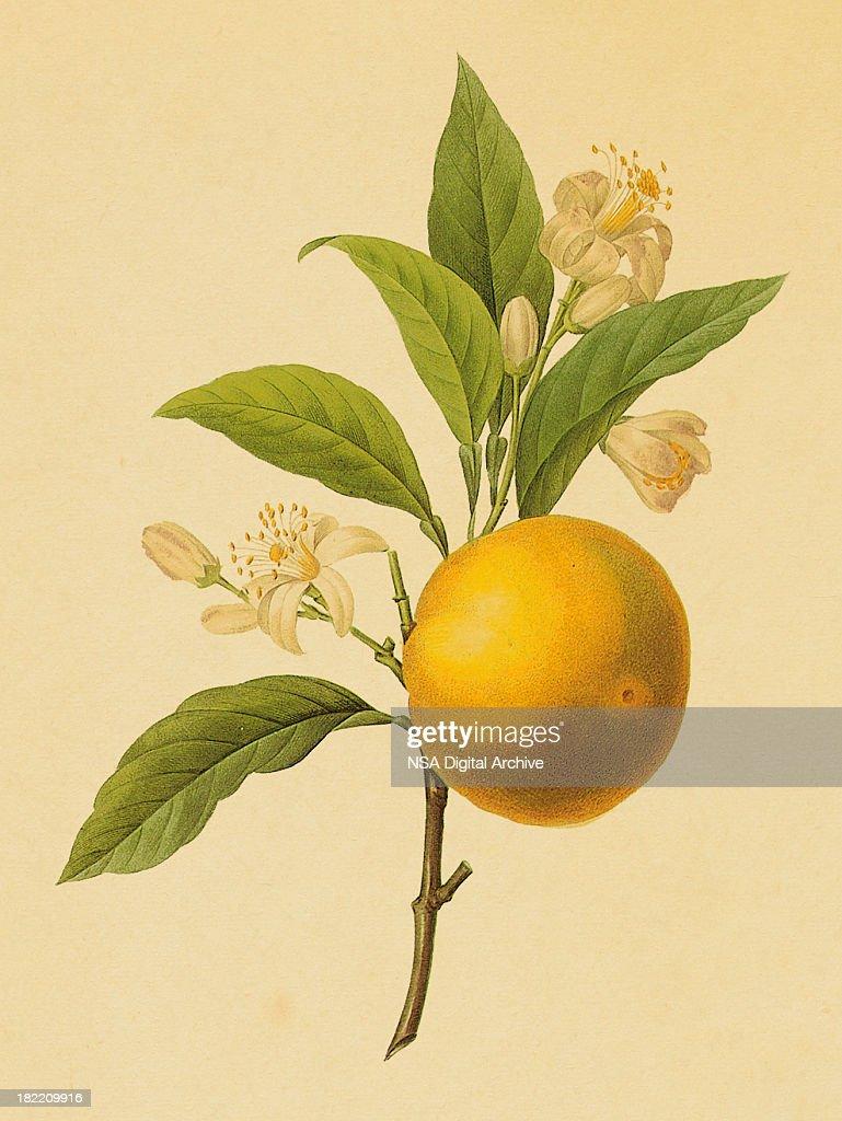 Orange | Antique Flower Illustrations : stock illustration