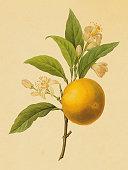Orange | Antique Flower Illustrations
