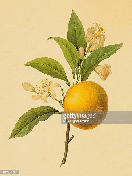 orange | antique flower illustrations - illustration technique stock illustrations