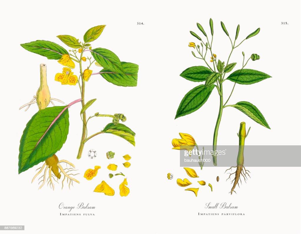 Orange Balsam Impatiens Fulva Victorian Botanical Illustration 1863 Stock