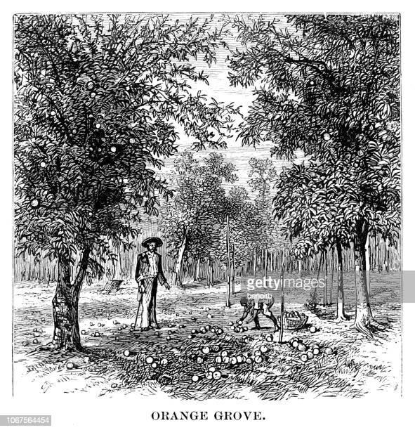 ilustrações de stock, clip art, desenhos animados e ícones de orange grove - laranjeira