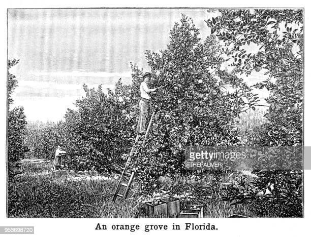 Campo de naranjos en Florida grabado 1897
