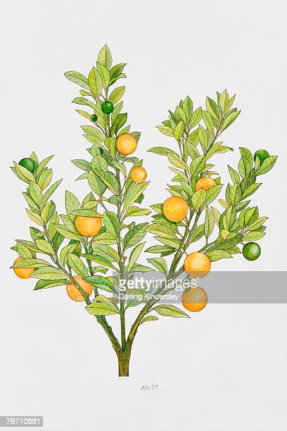 ilustrações de stock, clip art, desenhos animados e ícones de orange tree - laranjeira