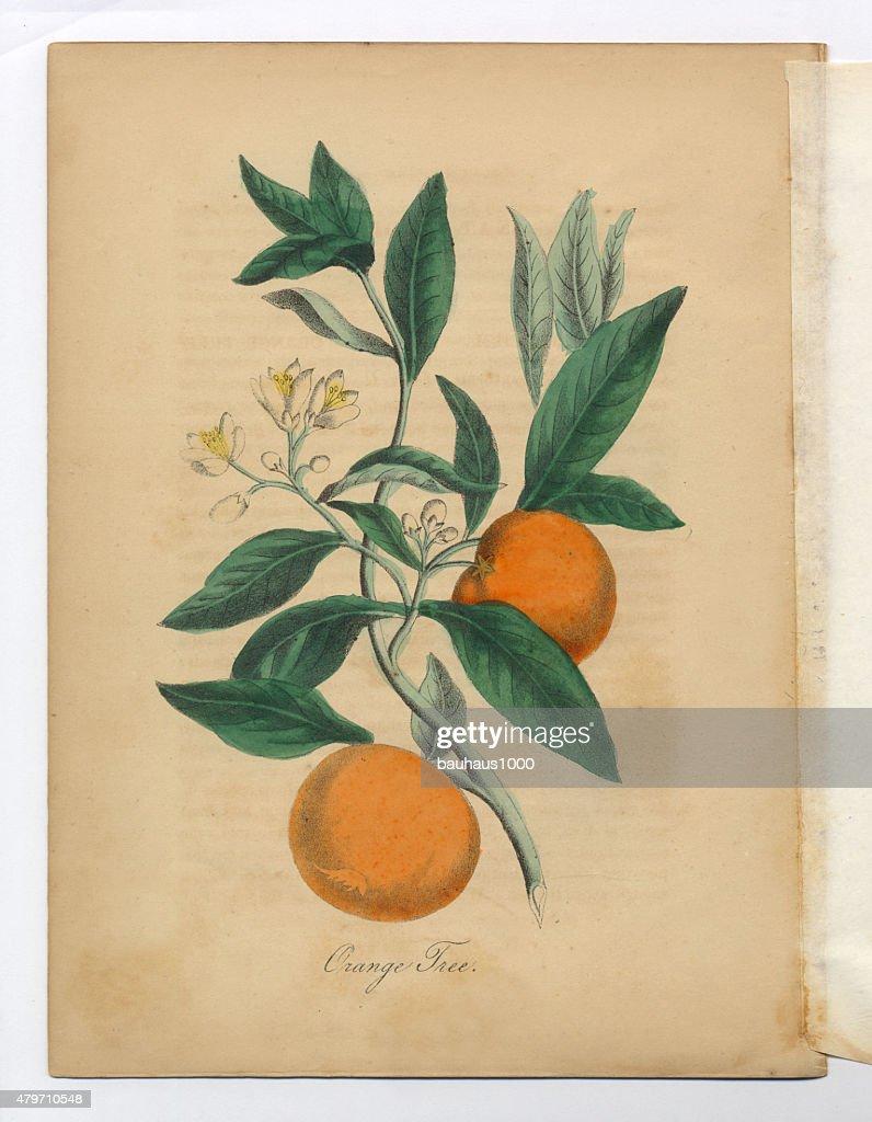 Orange Tree Victorian Botanical Illustration Stock