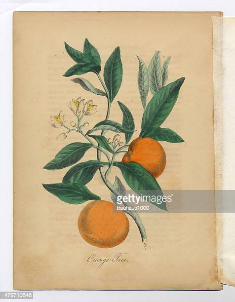 Orange Tree style victorien Botanical Illustration