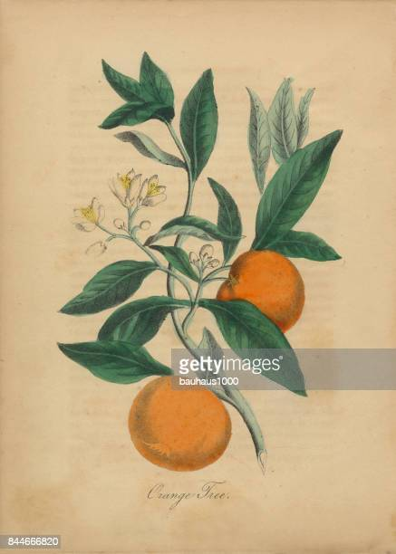 orange tree victorian botanical illustration - orange color stock illustrations
