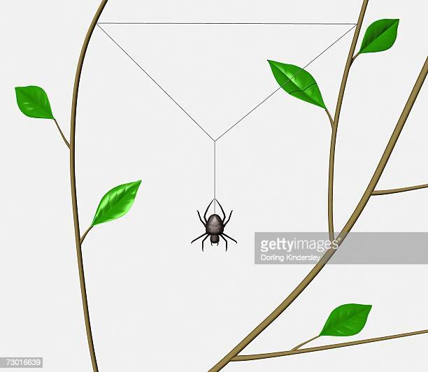 Orb Web Spider (Araneidae) beginning to weave web frame between tree branches.