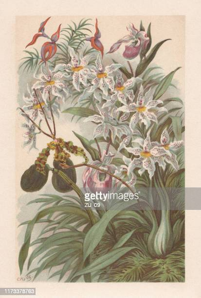 orchids, chromolithograph, published in 1894 - chromolithograph stock illustrations
