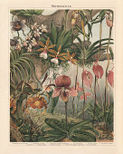 Orchids (Orchidaceae), chromolithograph, published in 1897