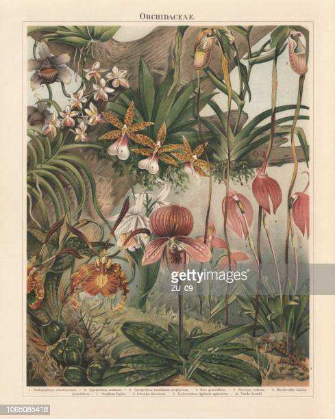 orchids (orchidaceae), chromolithograph, published in 1897 - lithograph stock illustrations
