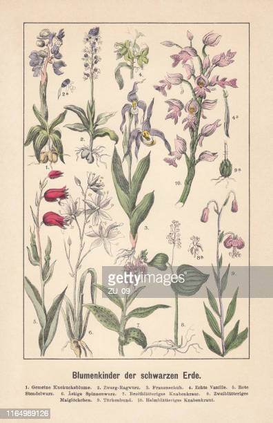 ilustrações, clipart, desenhos animados e ícones de orquídeas, litografia colorida à mão, publicada em 1892 - pilritreiro