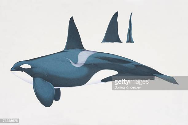orcinus orca, killer whale, side view. - killer whale stock illustrations, clip art, cartoons, & icons