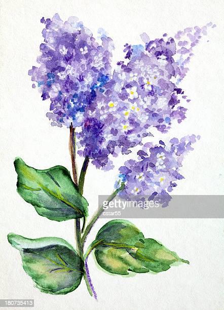 ilustraciones, imágenes clip art, dibujos animados e iconos de stock de pintura de acuarela de arte originales de lilacs - lavanda