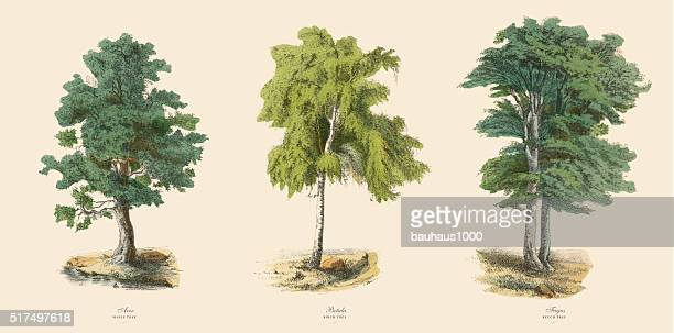 ornamental trees in the forest, victorian botanical illustration - beech tree stock illustrations