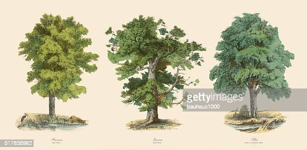 ornamental trees in the forest, victorian botanical illustration - lithograph stock illustrations