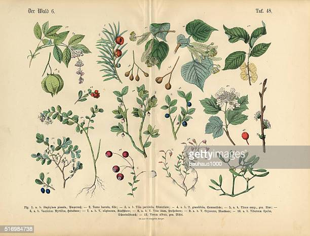 ornamental trees, shrubs and plants, victorian botanical illustration - coniferous tree stock illustrations, clip art, cartoons, & icons