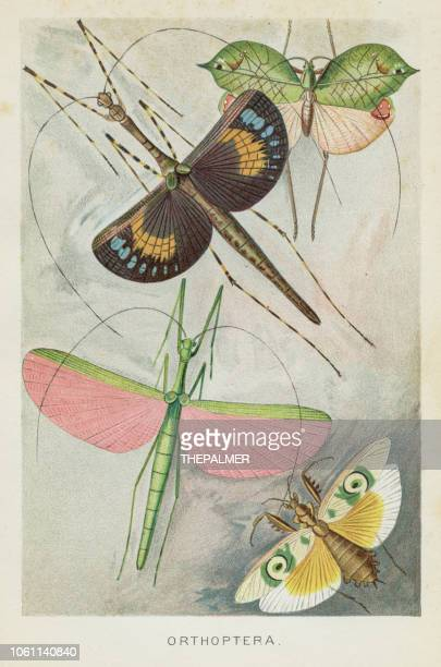ilustrações, clipart, desenhos animados e ícones de chromolithograph de insetos orthoptera 1896 - zoologia