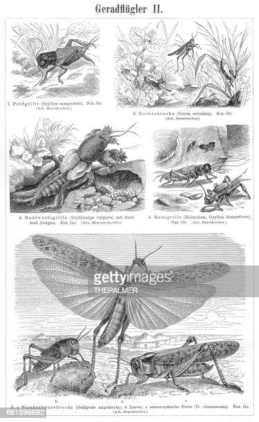 Orthoptera insects engraving 1895